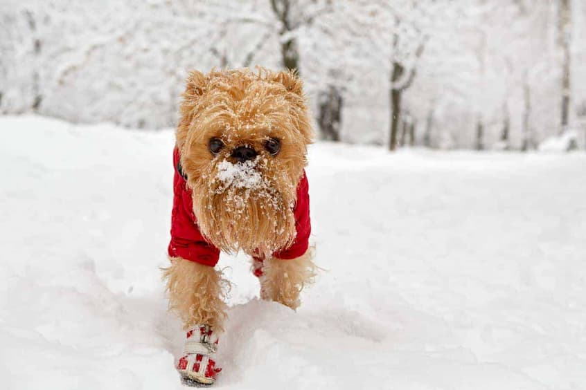 dog outside in the snow with winter boots and coat