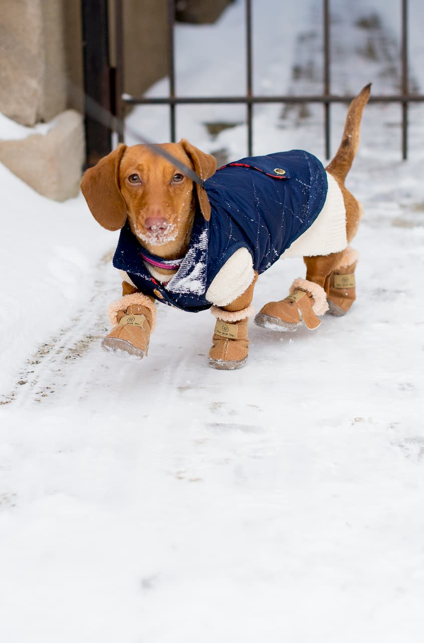 dog with boots and blue coat