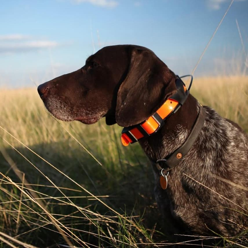 black dog with tracking collar